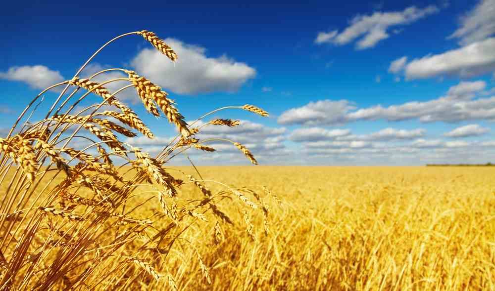 Photograph of wheat field under a blue sky